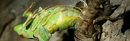 183-emerging_cicada-450px